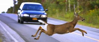 Какой штраф грозит за наезд на дикое животное